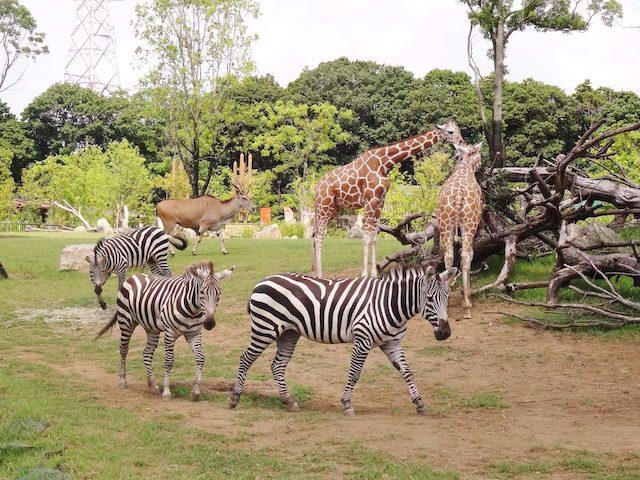 橫濱動物園Zoorasia(橫濱市)