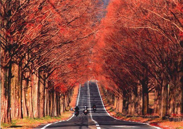 Makino水杉路