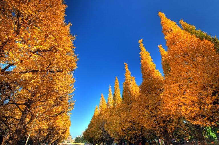 秋天限定!網友大推的日本5大賞銀杏去處:東京、北海道、札幌等地