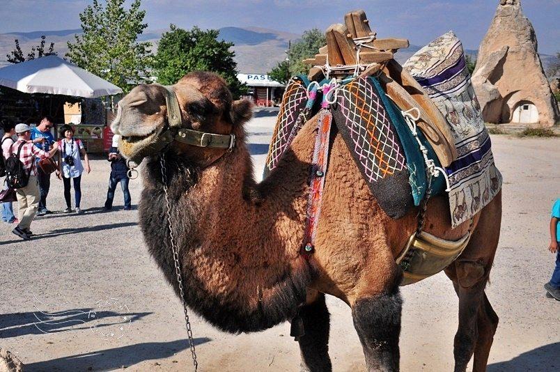 土耳其沒有沙漠更不產駱駝!