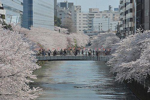 東京賞櫻目黑川