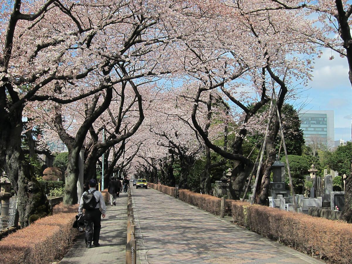 東京賞櫻青山靈園