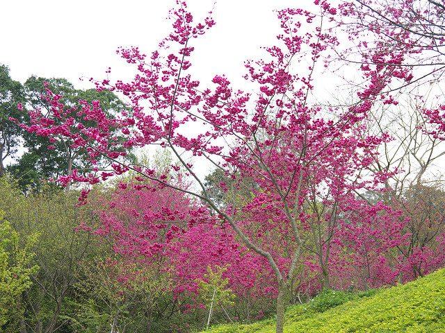 台中賞櫻大坑濁水巷的櫻花林