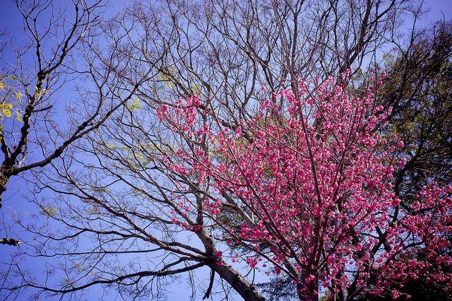 台中賞櫻櫻花鳥森林