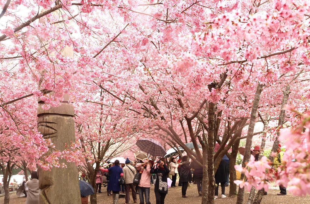 櫻花季的粉色浪漫!台中賞櫻花景點推薦