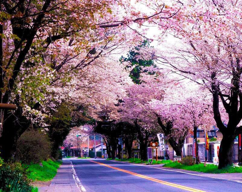 日光街道櫻並木