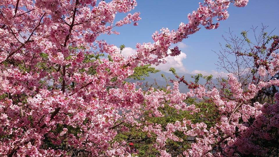 南投櫻花季怎麼玩?南投賞櫻景點、住宿推薦懶人包看過來!