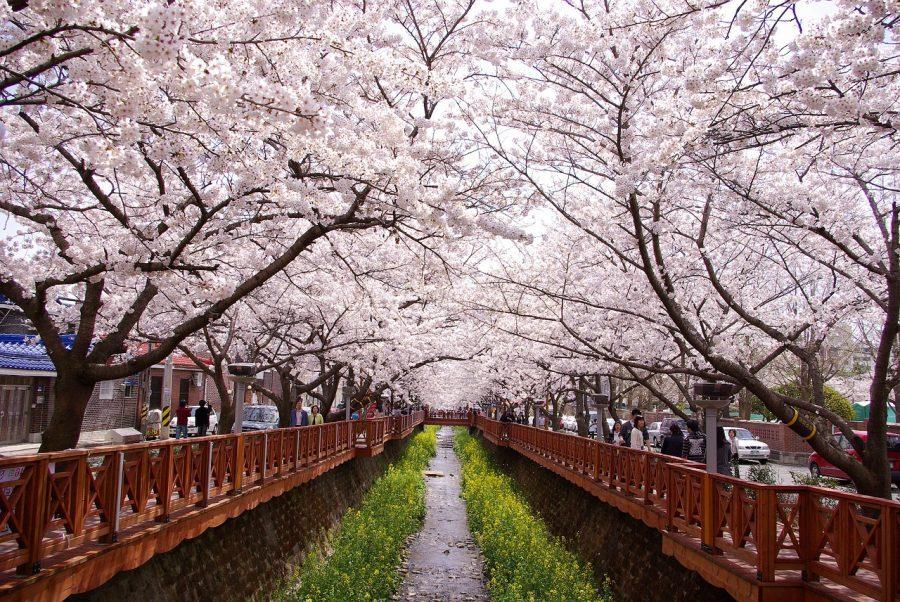 韓國春季自由行,就到釜山鎮海櫻花季這樣玩