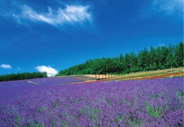 富良野的紫色浪漫!日本北海道薰衣草自由行 花期&景點推薦懶人包