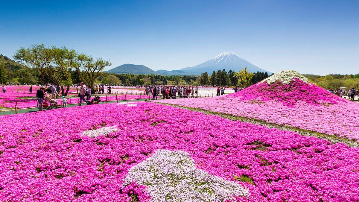 日本花季旅遊,紫藤花、薰衣草、向日葵花期情報來啦!
