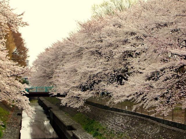 東京賞櫻和田崛公園