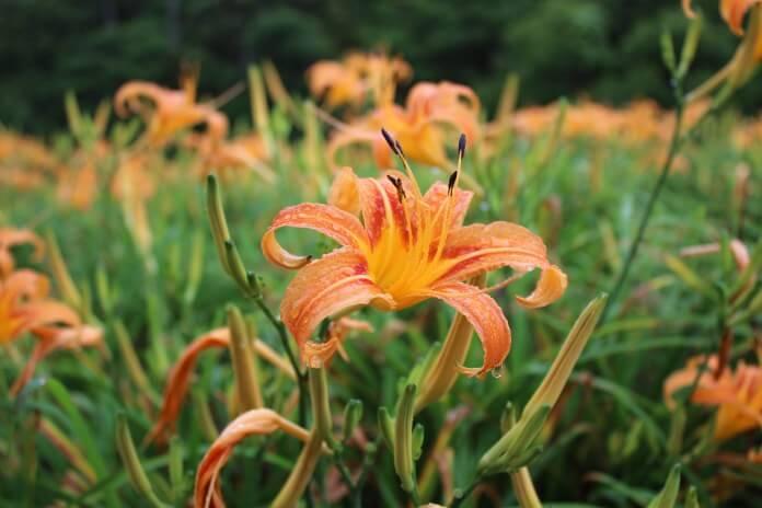 花蓮赤科山金針花季