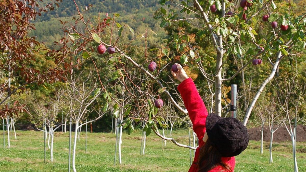 4月-7月夏季限定!5大北海道觀光果園推薦,櫻桃、葡萄現採吃到飽