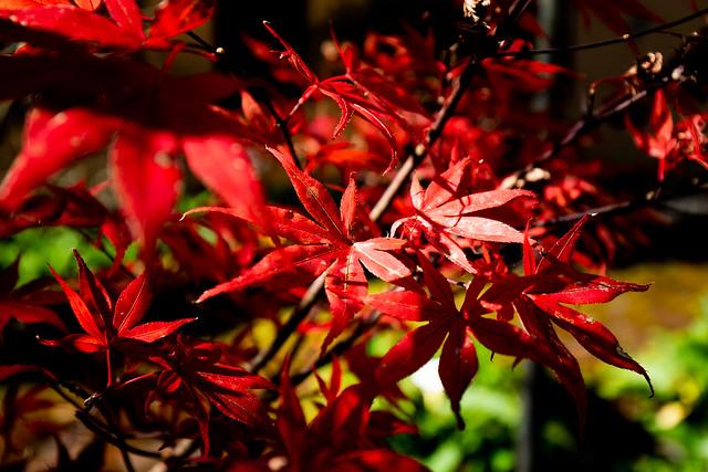 阿里山 楓葉