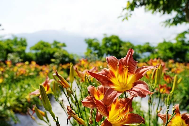 金針花景點 嘉德花園