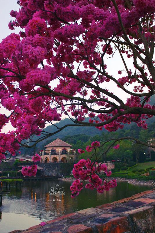 台中新社莊園粉紅風鈴木
