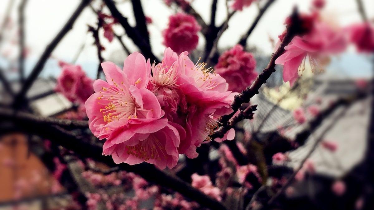 台灣櫻花季2019來啦!全台賞櫻景點推薦top10,體驗粉紅浪漫免出國