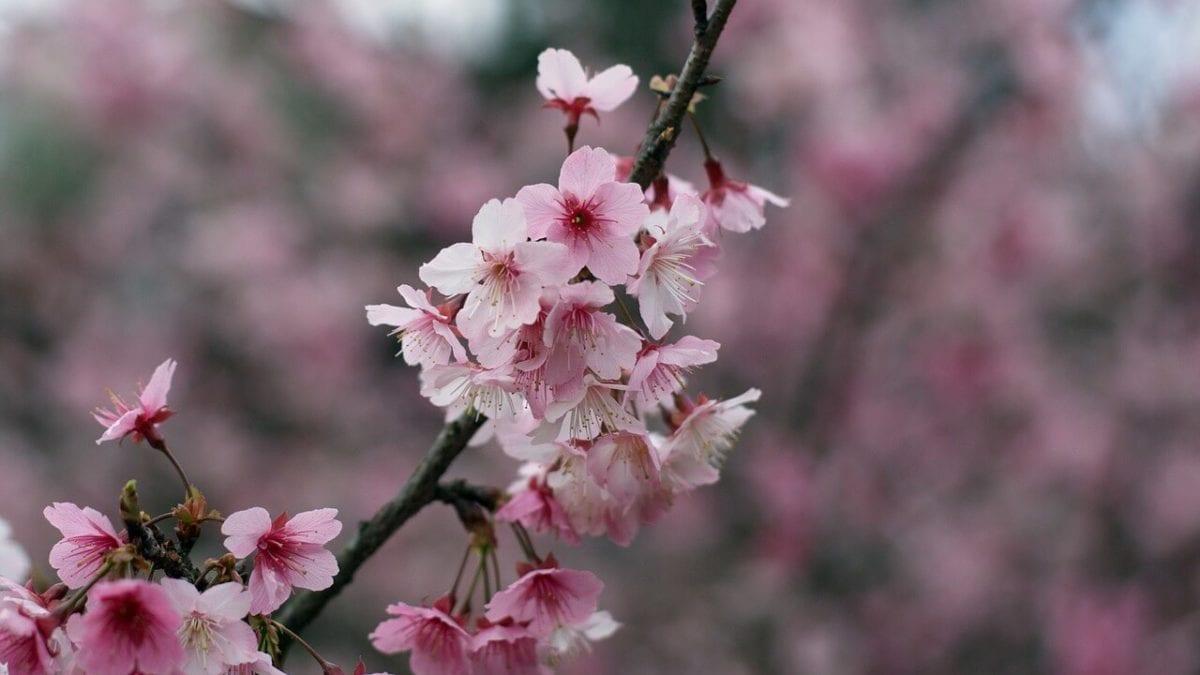 春遊遍賞彩櫻點點!2020 烏來櫻花季攻略,泡湯、逛老街、探索賞櫻秘境