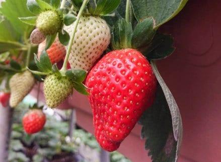 安泰草莓休閒農場