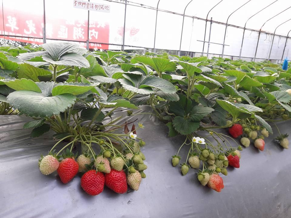 桂香草莓園