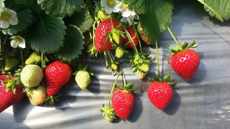 白石湖草莓園