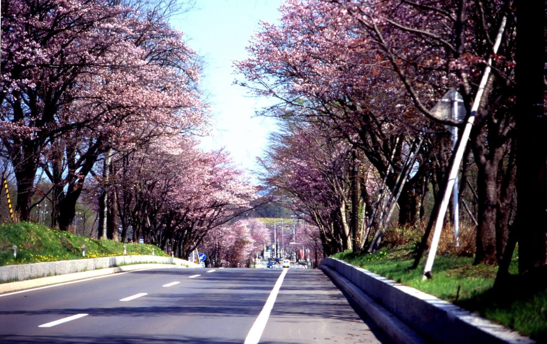 北海道櫻花登別櫻並木
