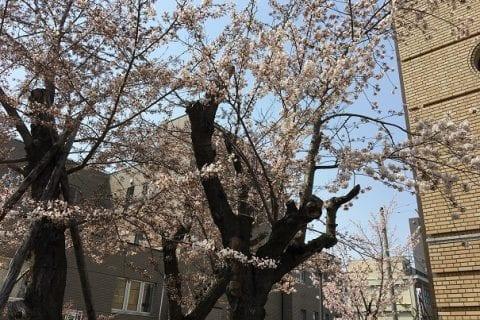 北海道櫻花小樽公園