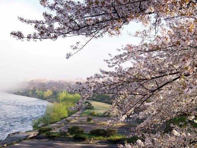 秋田縣角館檜木內川河堤