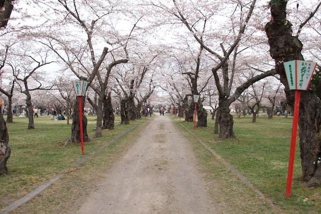 北海道櫻花青葉丘公園