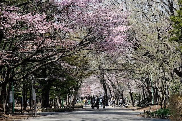 北海道櫻花北海道神宮