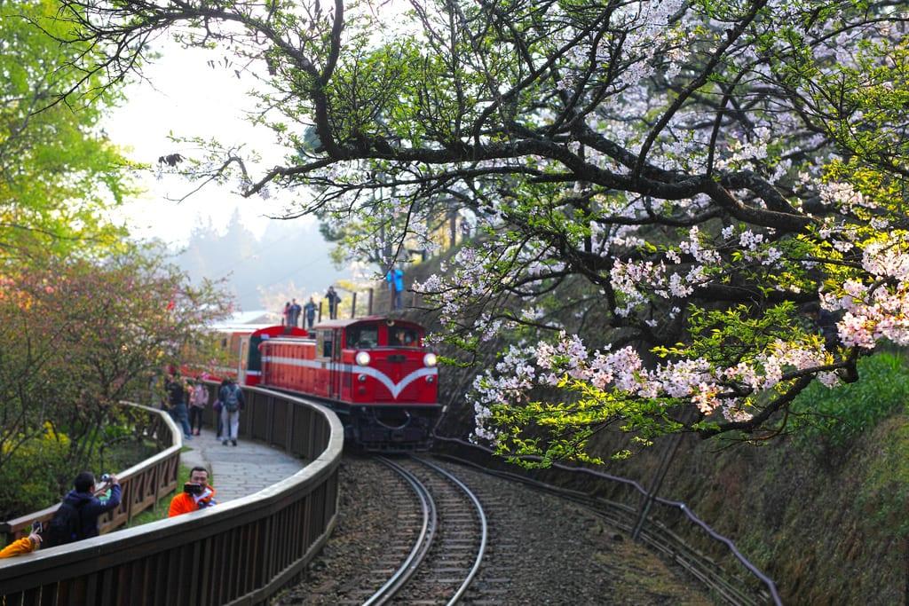 ▲阿里山櫻花鐵道。(圖/攝影者:Jerry Lai, Flickr CC License)