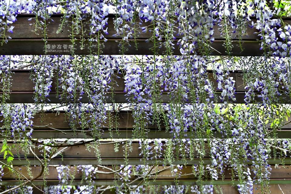 阿里山沼平公園 紫藤花
