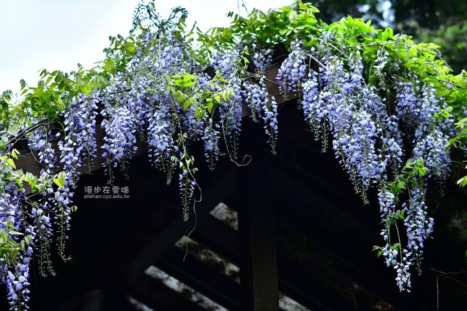 阿里山浪漫紫藤花季