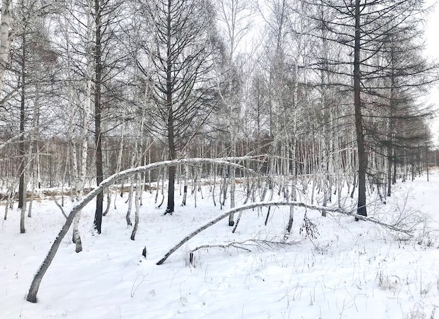 白樺木 內蒙古