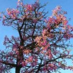台南木棉花