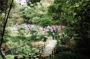 十八尖山、高峰植物園桐花步道