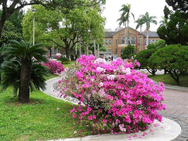 台北杜鵑花