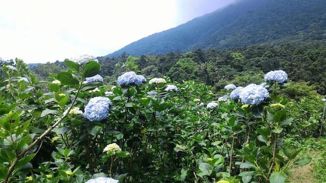 竹子湖花與樹繡球花園