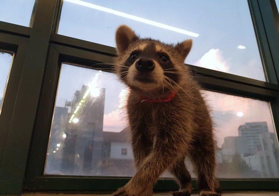 少女心大噴發啦!首爾寵物咖啡廳7選,貓狗、浣熊…竟然還有狐獴!