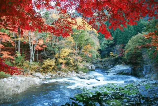 Japan_Maple_Leaf_Information_China