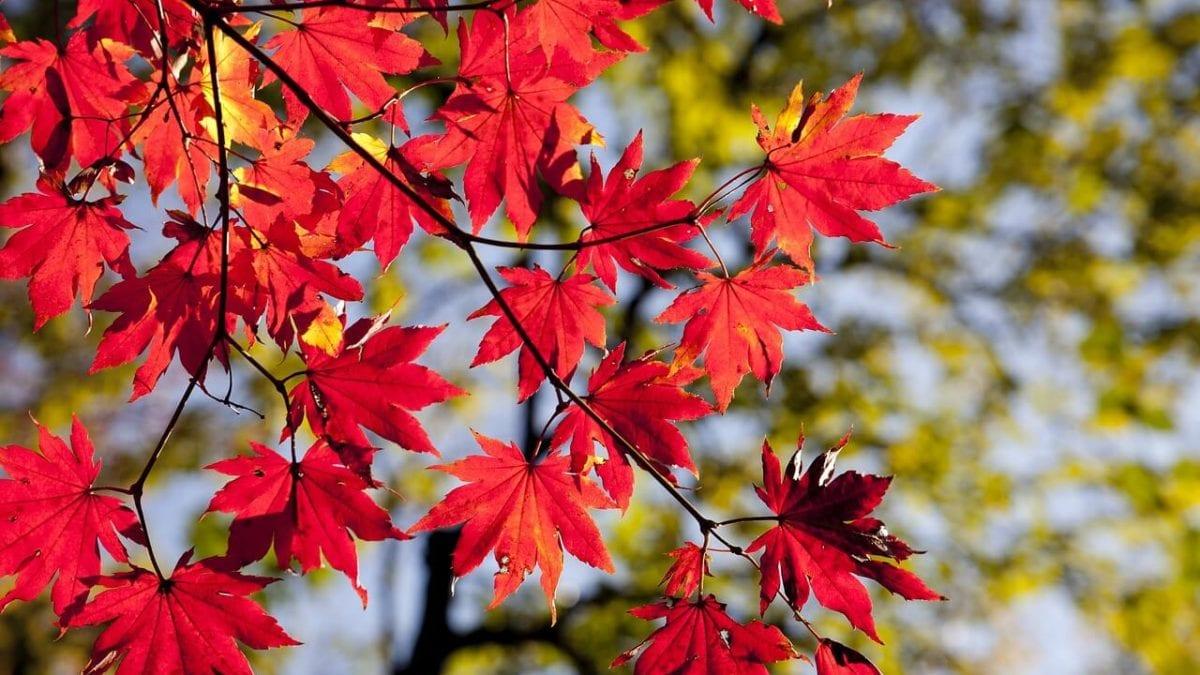 日本賞楓旅遊 | 最新紅葉預測時間、日本各地最佳觀測時間整理