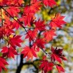 japanese_maple_information_2019