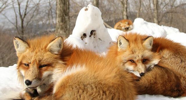 圖片來源:藏王狐狸村官網