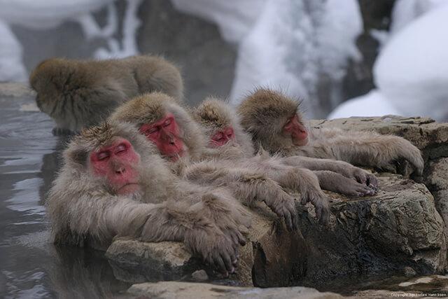 圖片來源:地獄谷野猿公苑官網