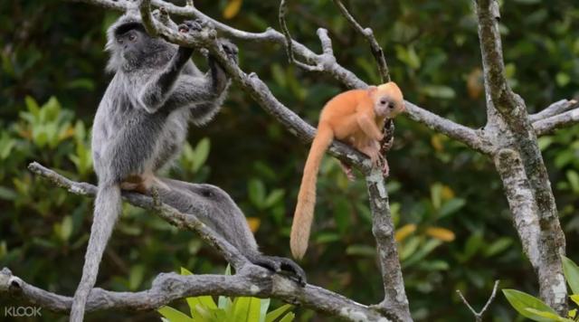 沙巴 海島 長鼻猴