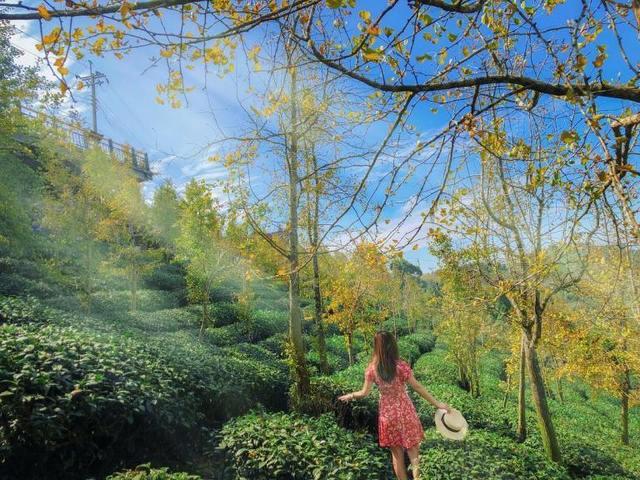 銀杏森林 中台灣走春景點