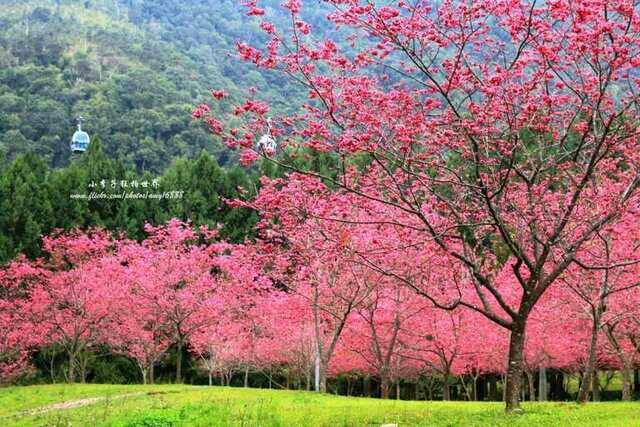 九族櫻花祭 中台灣走春景點