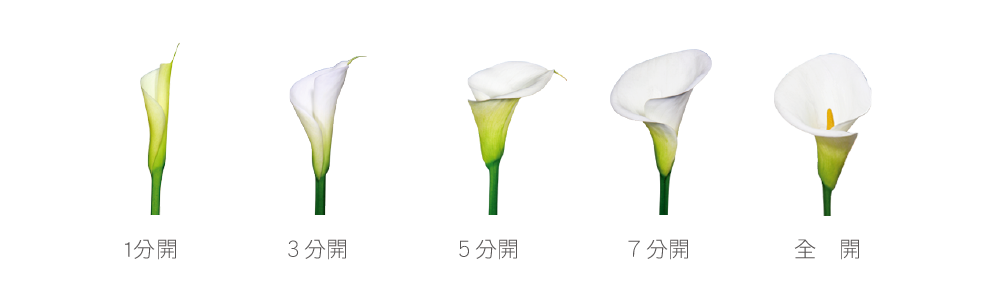 海芋開花程度