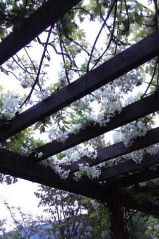 阿里山紫藤花季漫步在雲端的阿里山