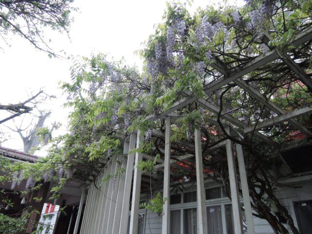 阿里山紫藤花季嘉義林管處